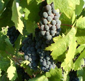 sadzonki winogron